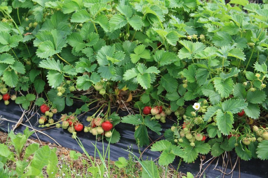 mansikkarivi mansikkaa kurikka seinäjoki etelä-pohjanmaa lähiruoka